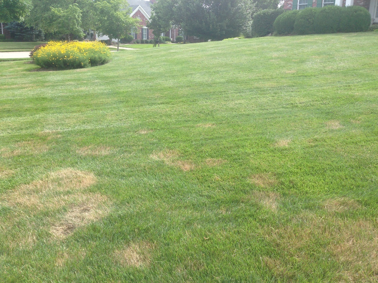 brown spots in st louis lawn